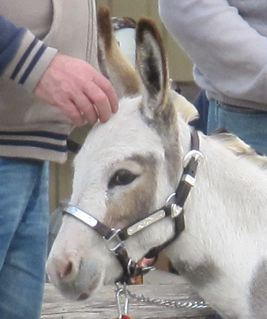 Micro_Mediterranean_miniature_spotted_donkey_jenny_in_show