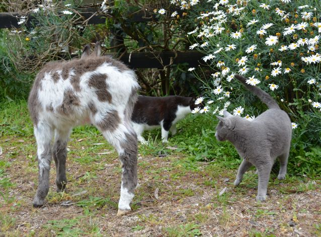 Poplargrove_Gunna_B_Famous_ dark_spotted_Miniature_Donkey_foal_playing_with_cats_photo