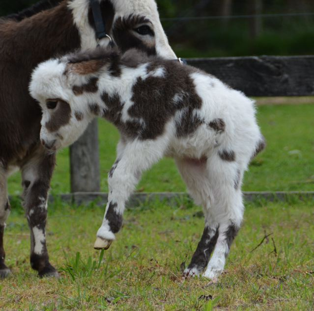 Poplargrove_Picture_Perfect_black_And_White_spotted_filly_foal_photo_bucking