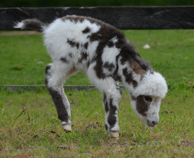 Poplargrove_Picture_Perfect_black_And_White_spotted_filly_foal_photo_bucking_LHS