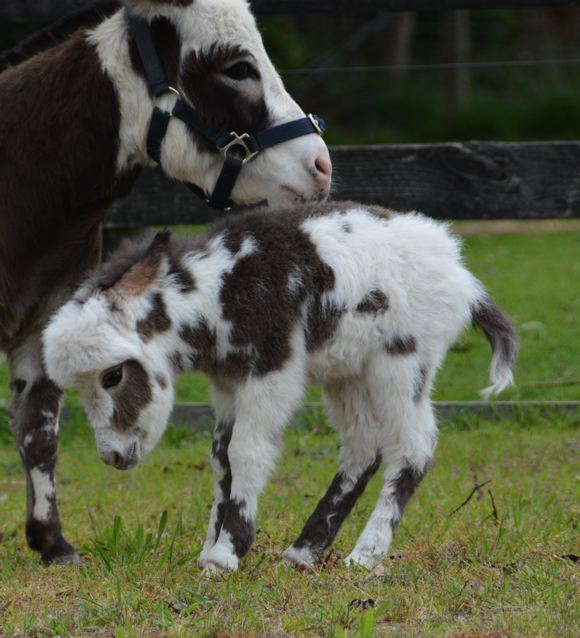 Poplargrove_Picture_Perfect_black_And_White_spotted_filly_foal_photo_bucking_RHSjpg