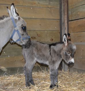 Emerald_Ridge_Piper_Miniature_donkey_jenny_giving_birth_picture_at_Poplargrove_Stud_hours_old