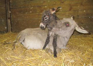 Emerald_Ridge_Piper_Miniature_donkey_jenny_giving_birth_picture_at_Poplargrove_Stud_on_mum